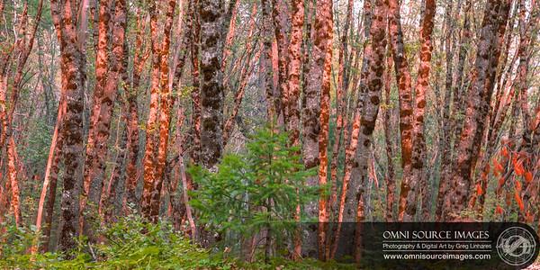 Sunlit Grove Shasta Trinity National Forest