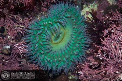 Bolinas Duxbury Reef Sea Anemone