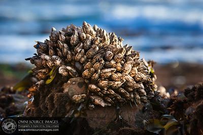 Low Tide Barnacles - Fitzgerald Marine Reserve - Moss Beach, CA. 9/30/2012.