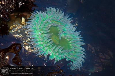 Fitzgerald Marine Reserve Sea Anemone