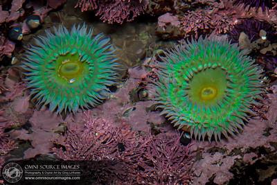 Bolinas Duxbury Reef Sea Anemones