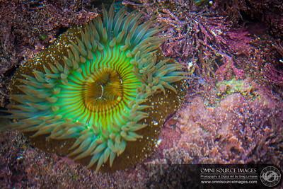 Sea Anemone - Fitzgerald Marine Reserve