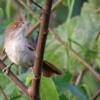 Phacellodomus ruber<br /> Graveteiro<br /> Greater Thornbird<br /> Espinero grande - Añumby pytâ