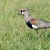 Vanellus chilensis<br /> Quero-quero<br /> Southern Lapwing<br /> Tero tero - Tetéu
