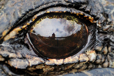Self portrait as a reflection in an alligator's eye.  Taken on Anhinga Trail, Florida Everglades.