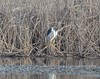 night heron_single_DSC_6954