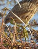 bittern_2_foot detail_DSC_6928