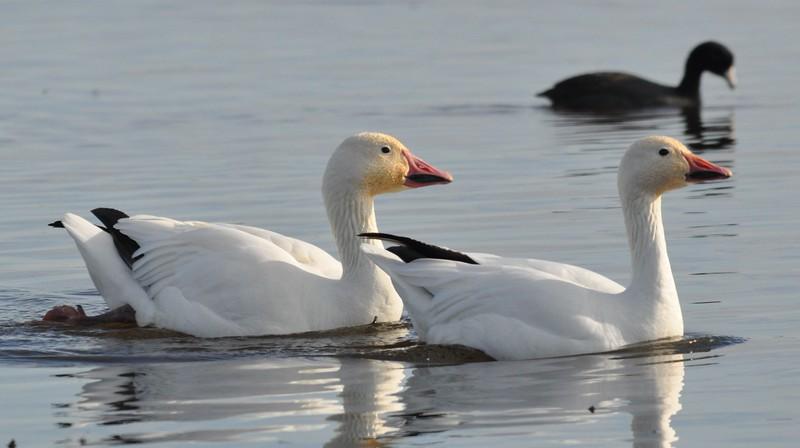 white geese_DSC_8928