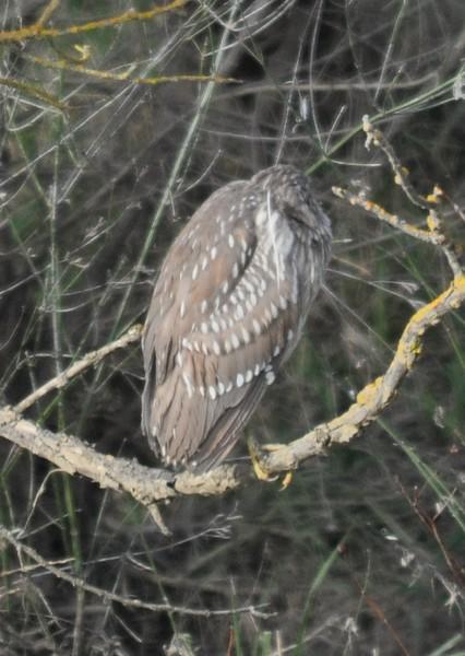 night heron_immature_feather detail_DSC_8969