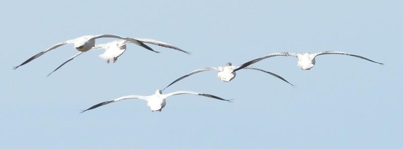 white geese_DSC_6813