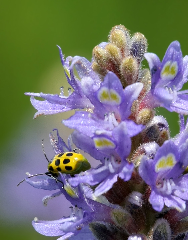 Unidentified yellow bug with black spots walking around a pickerelweed at the Viera Wetlands.