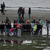 Snapshot gallery of images taken during the extremely low spring low tide on the mudflats below Woodway - Point Wells. Images include sea stars, gulls, crows, terns, geoducks aka gooey ducks, eagles, crabs, mussels and other objects exposed by the low tides. Images were acquired as RAW files and have been batch processed for display on the web. Image Copyright © 2008 J. Andrew Towell All Rights Reserved. Please contact the copyright holder at troutstreaming@gmail.com to discuss any and all usage rights.