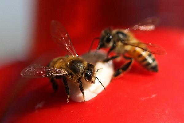 09-03-16 Honey Bees at Hummingbird feeder