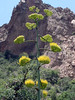 AGAVE BLOOMS<br /> And here's one of the telephoto shots now. It really is a remarkable bloom stalk.