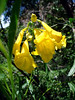 "ESPERANZA<br /> Also called the Yellow Trumpeteer. A very delicate and beautiful flower, whose name means ""Hope"" in Spanish."