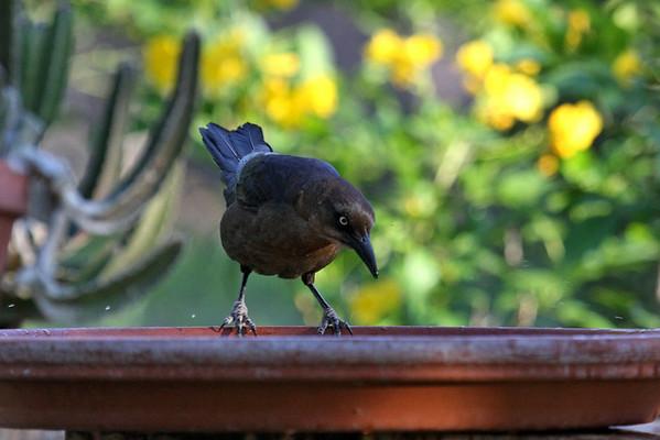 09-05-20 Backyard Birds Butterfly