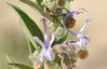 This image is not perfectly sharp but it shows the geometry of the vinegar weed flower.