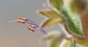 vinegar weed_stamens_DSC_0034