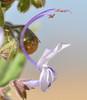 vinegar weed_closeup_DSC_0017