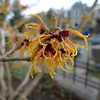 Japanese witch hazel was blooming.