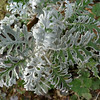 "I'm embarrassed to not know the botanical name for this one. It's one of the things gardeners call ""dusty miller."" What caught my eye about it was how the fine silvery hairs had worn from some of the leaves, creating a two-toned effect. Usually plants get less, not more, striking as they age."