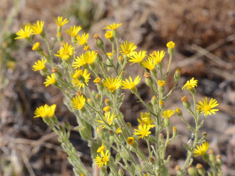 Telegraph weed (heterotheca grandiflora).