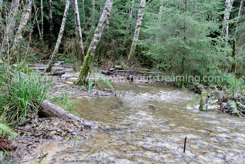 Snapshot gallery of images of spawning Coho salmon from a Pacific Salmon Coalition Habitat restoration project on a Bogachiel River tributary near Forks Washington. Images Copyright © 2010 J. Andrew Towell All Rights Reserved. Please contact the copyright holder at troutstreaming@gmail.com to discuss any publication or commercial usage rights. Small web use images available upon request with any print order.