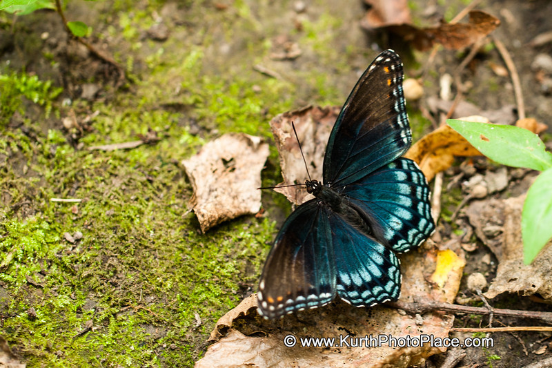 Red Spotted Purple