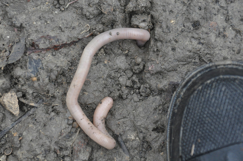 BIG earthworm - toe of boot for reference - lots more of him underground.
