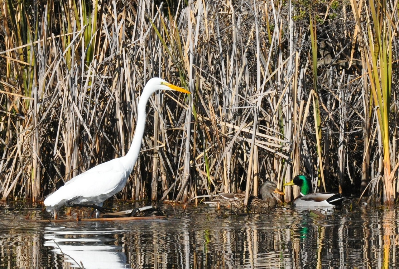 I spotted this great egret standing quietly at the edge of the reeds near the island in the lake.  The egret was facing into the reeds so I had to wait for it to give me a good pose.  In the meantime, a pair of ducks swam into the picture.