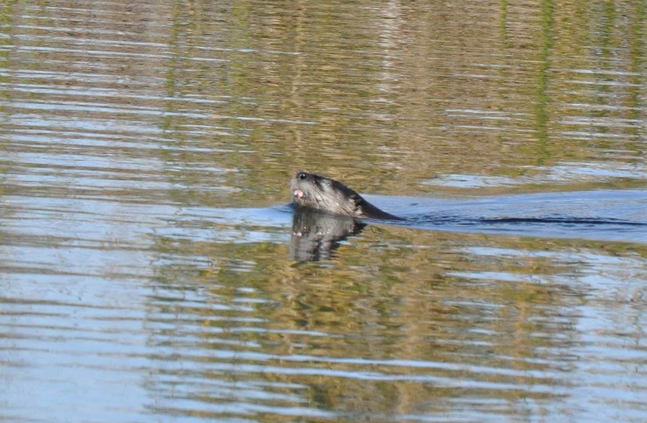 This picture is a bit better.  I can see the otter's head and its front teeth.  Things are looking up.