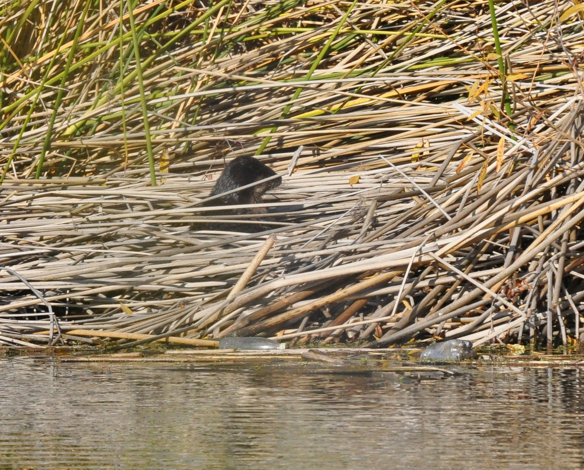 I saw three otters in the water without getting any pictures to get excited about.  Then one otter surfaced among the reeds at the edge of the lake.  Darn that reed stem in the way.  I kept watching.