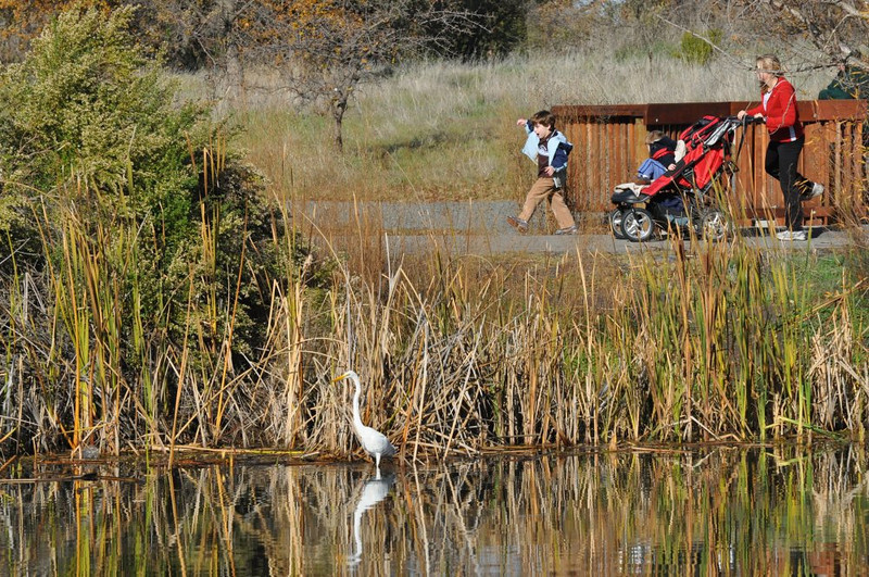 A group of mothers with children in strollers was walking in the park this morning.  The egret was only 15 feet from the walkers but it managed to keep hunting for fish.
