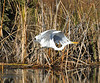 After a few minutes, a jogger came by and his greater speed compared to the walkers' speed caused the egret to fly. <br /> <br /> Views like this give me a different sense of the anatomy of birds.