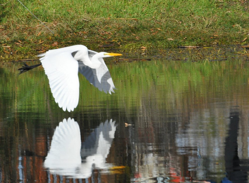 As the egret flies, you can see reflections of the pedestrian bridge and several people walking by.  People and wildlife fit together nicely in the park.