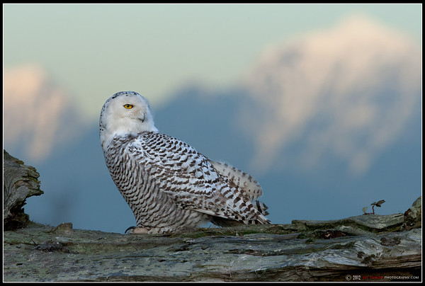 Snowy Owl 8