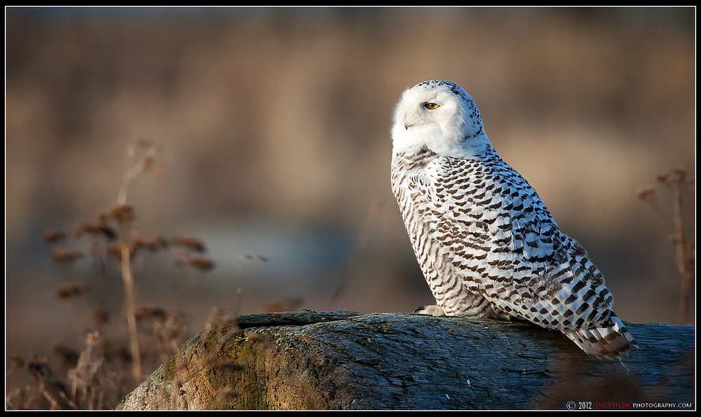 Snowy Owl 7