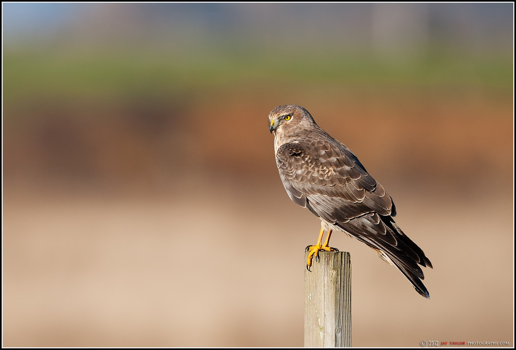 Northern BC Harrier
