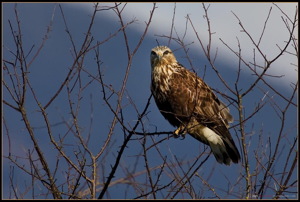 Rough Legged Hawk