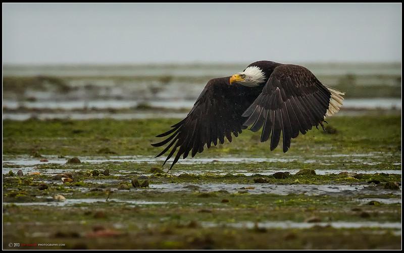 Bald Eagle Estuary