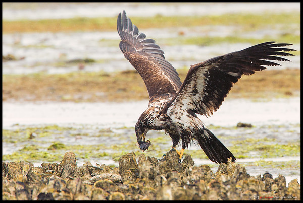 Young Eagle with Sculpin