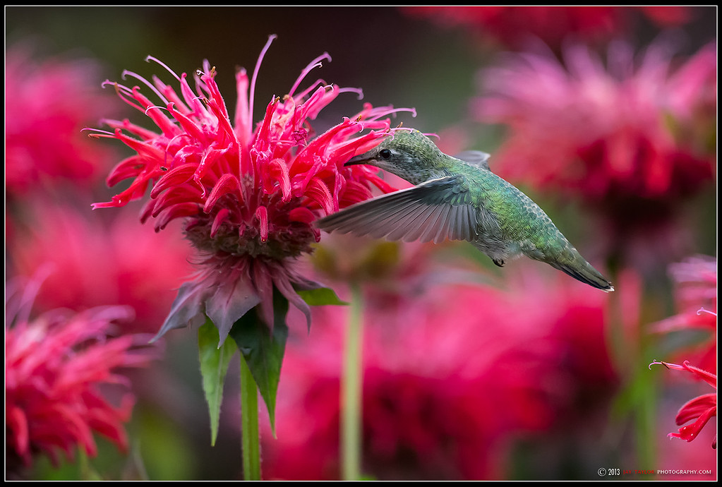 Annas on Bee Balm1