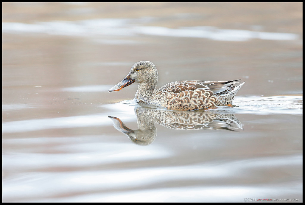 Female Northern Shoveler