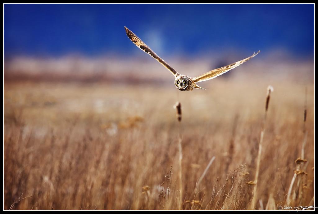 Short-Eared Owl IF
