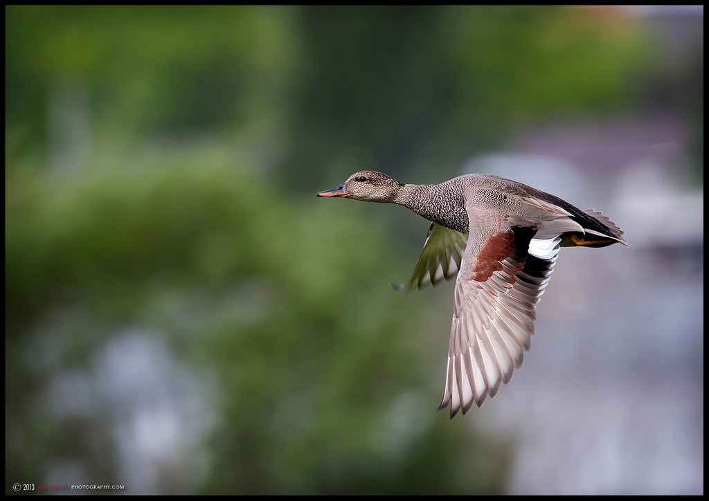 Gadwall IF