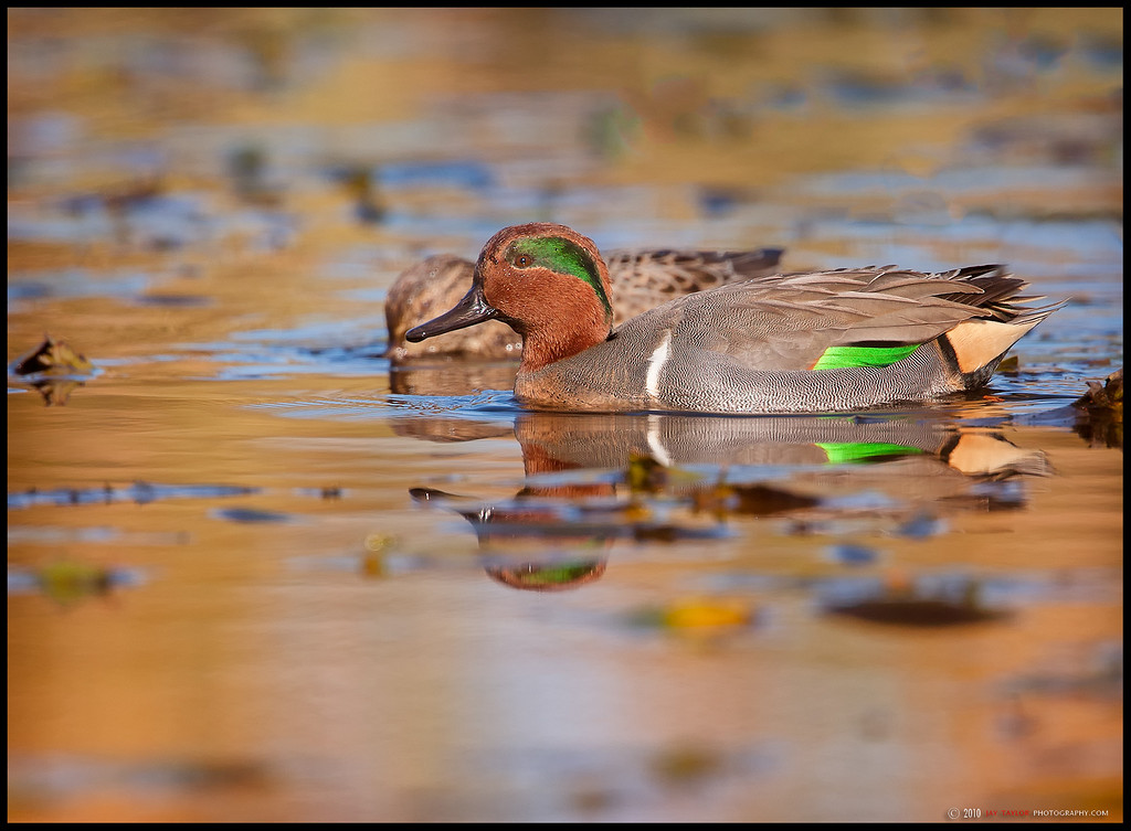 Green-Wnged Teal