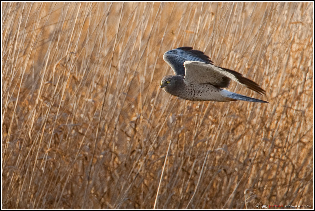 Northern Male Harrier