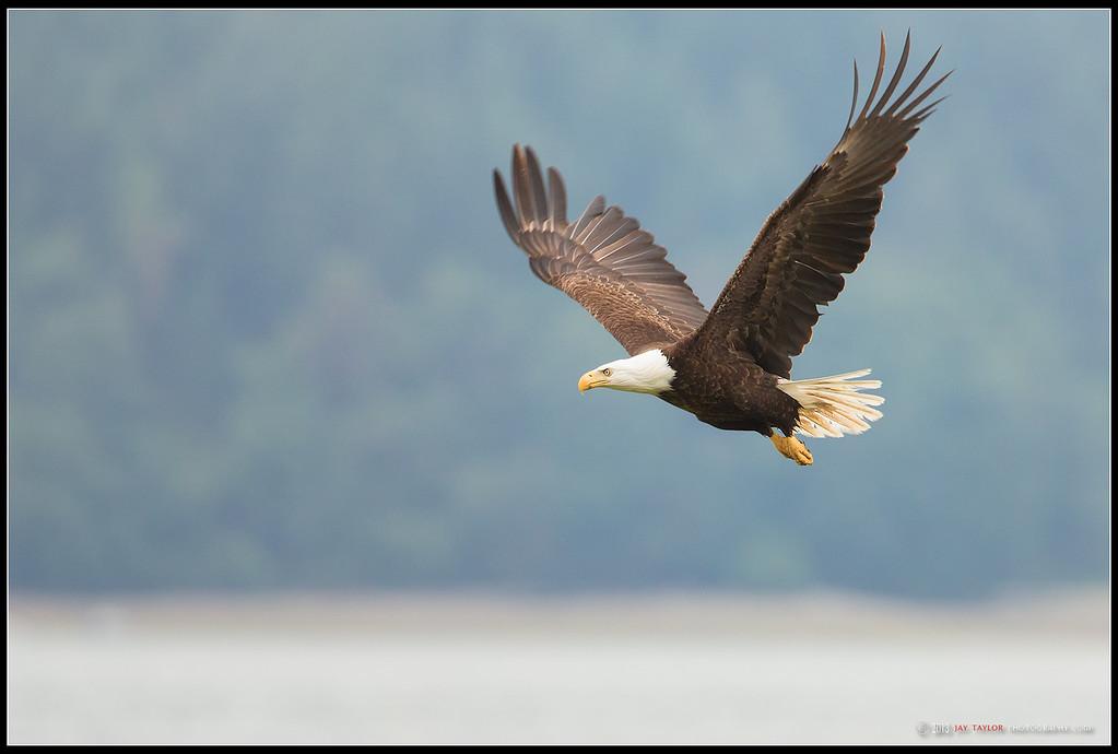 Canal Eagle
