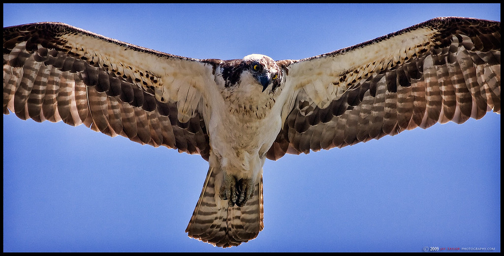 Columbia Osprey