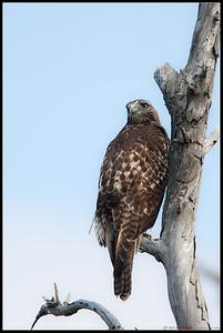Red-tail Hawk Bolsa